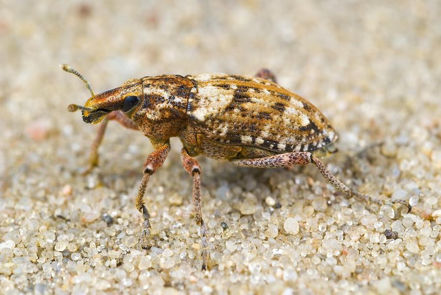 Animal Photograph - Weevil On Sand by Science Photo Library