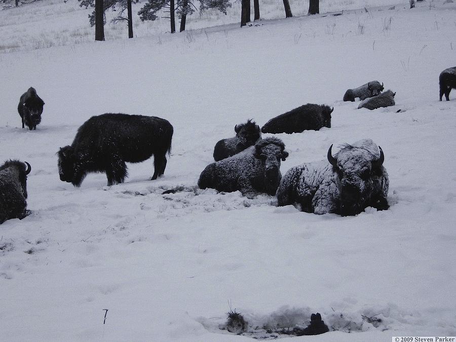 Buffalo Photograph - Were Not Cold by Steven Parker