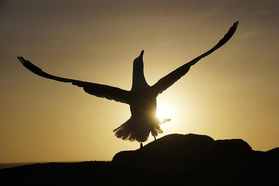 Western Gull At Sunset California Photograph by Hiroya Minakuchi