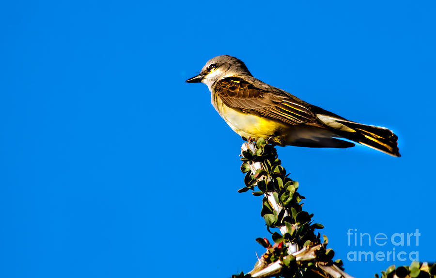 Arizona Photograph - Western Kingbird by Robert Bales