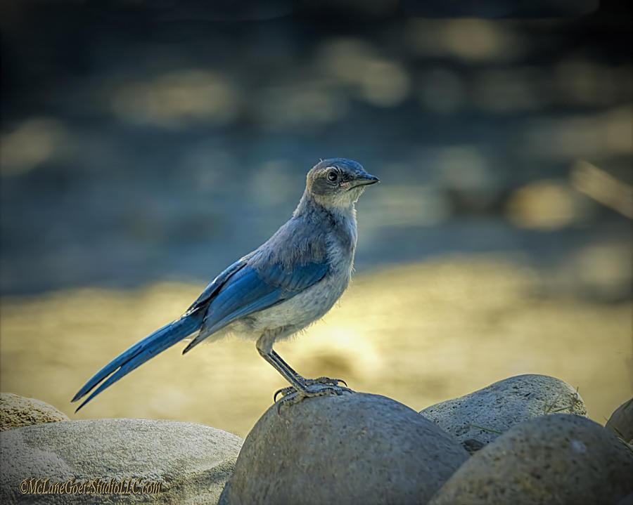 Blue Jay Photograph - Western Scrub Jay Thief by LeeAnn McLaneGoetz McLaneGoetzStudioLLCcom