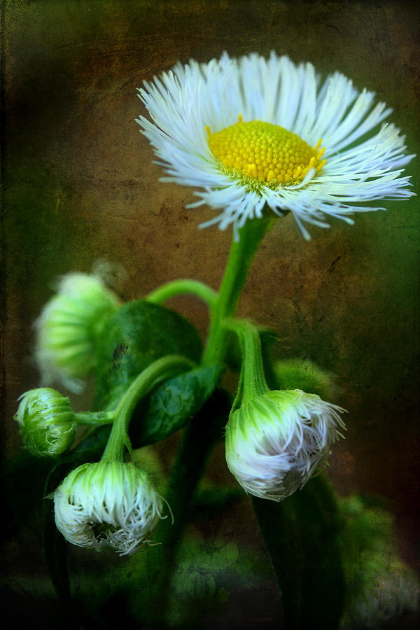 Daisy Photograph - Weve Only Just Begun by Michael Eingle