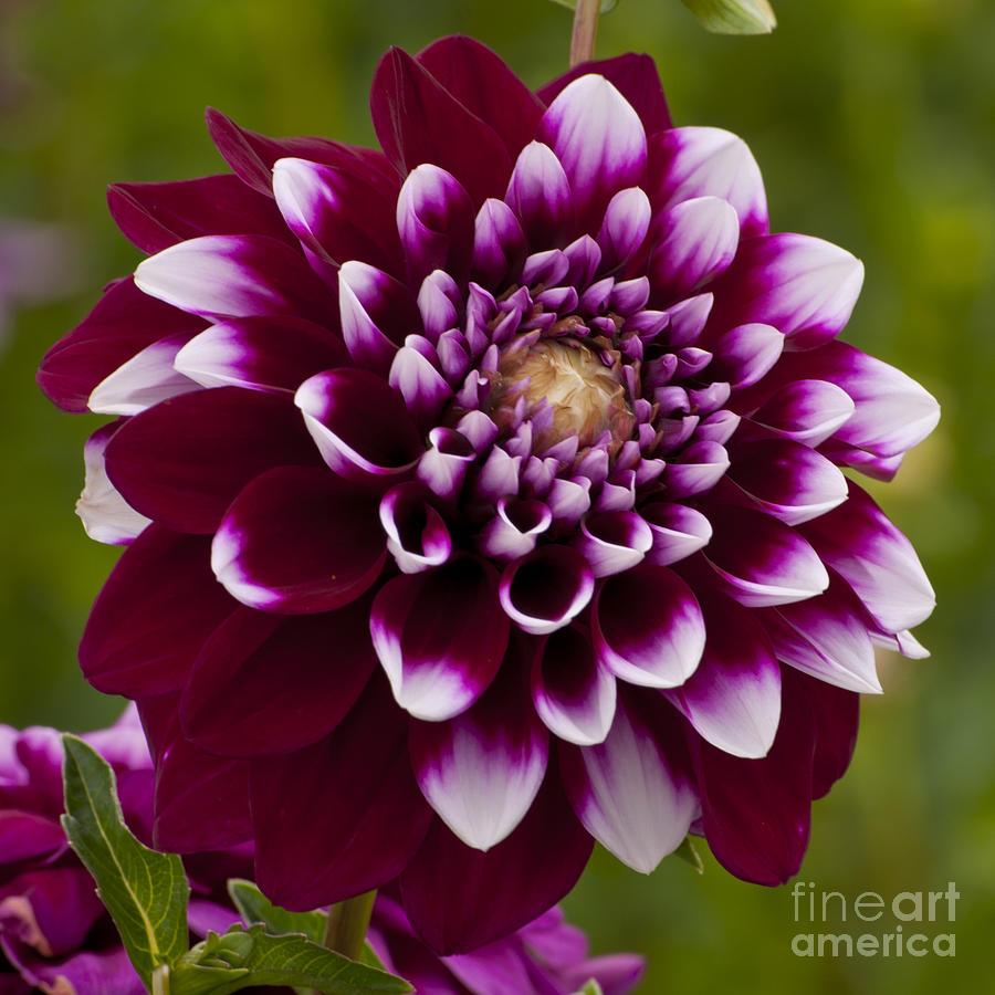 Swan Island Dahlia Photograph - White And Purple Dahlia by Mandy Judson