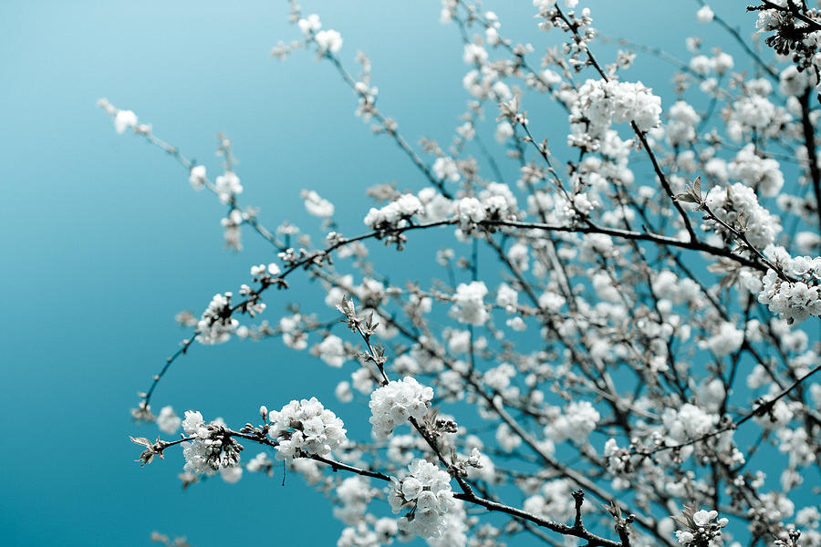 White Cherry Blossoms Blooming in the Springtime by Nila Newsom