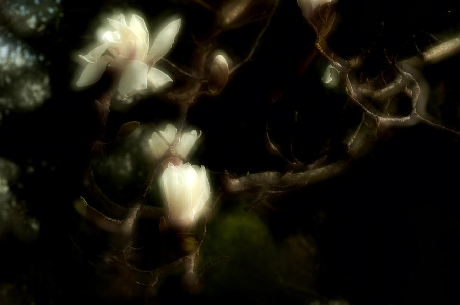 Flower Photograph - White Magnolia by Catherine Lau