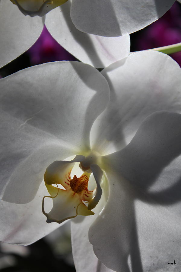 Orchid Photograph - White Orchid Four by Mark Steven Burhart