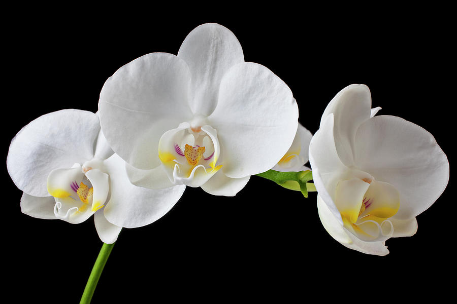 White Orchid Photograph by Garry Gay