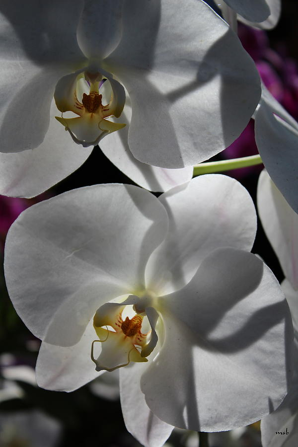 Orchid Photograph - White Orchid Two by Mark Steven Burhart