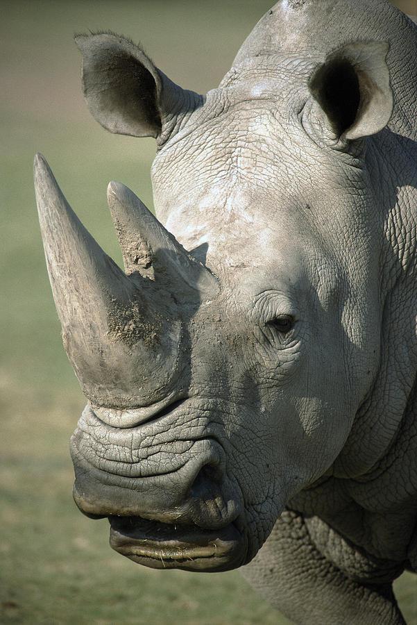 White Rhinoceros Portrait Photograph by San Diego Zoo
