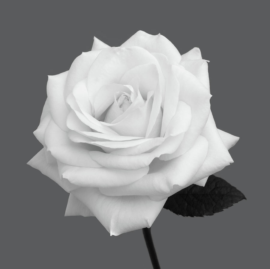 White Rose In Shades Of Grey Photograph by Rosemary Calvert