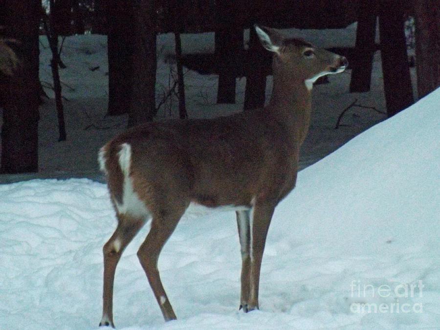 Wildlife Photograph - White Tail Deer by Brenda Brown