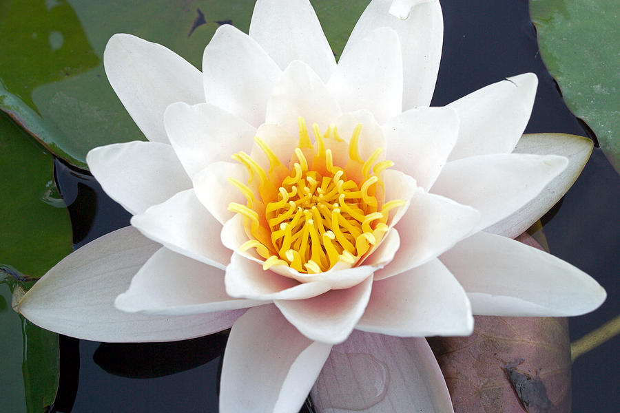 Beautiful Photograph - White Water Lily by RM Vera