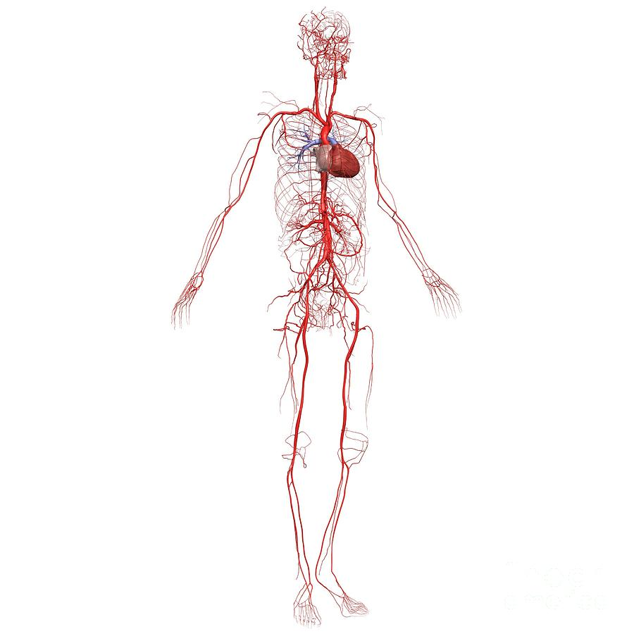 Whole Body Arteries Photograph By Medical Images