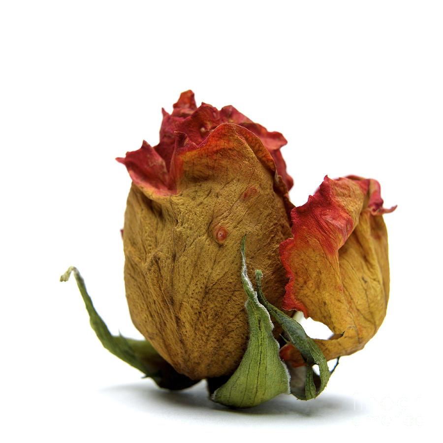 Indoors Photograph - Wilted Rose by Bernard Jaubert