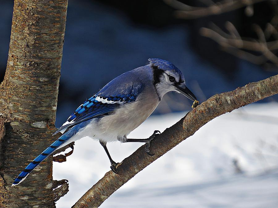 Blue Jay Photograph - Hungry Winter Blue Jay by MTBobbins Photography