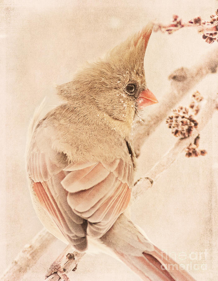 Winter Cardinal by Pam  Holdsworth