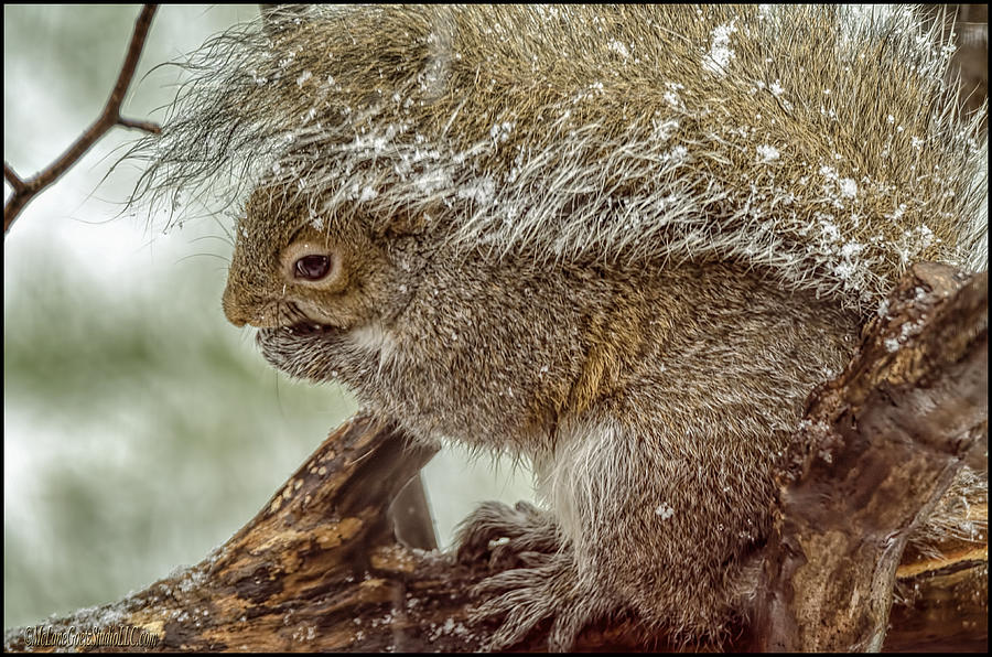 Squirrel Photograph - Winter Squirrel by LeeAnn McLaneGoetz McLaneGoetzStudioLLCcom