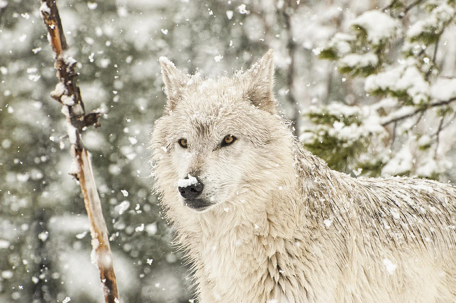 wolf in winter photograph by donna doherty. Black Bedroom Furniture Sets. Home Design Ideas