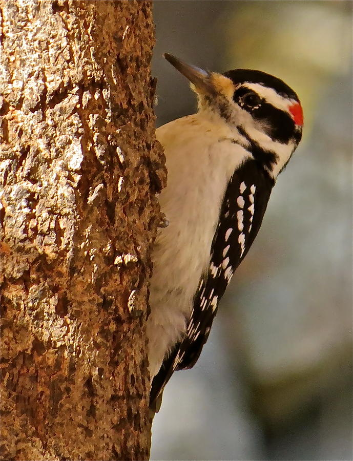 Hairy Woodpecker Photograph - Woodpecker 109 by Patsy Pratt