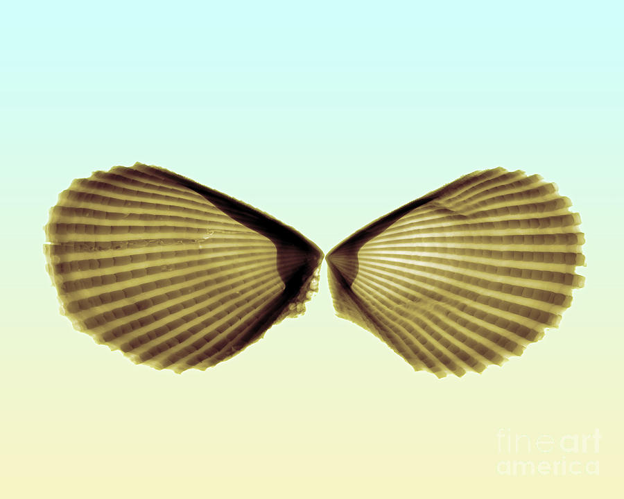 Radiograph Photograph - X-ray Of Angel Wing Shells by Bert Myers