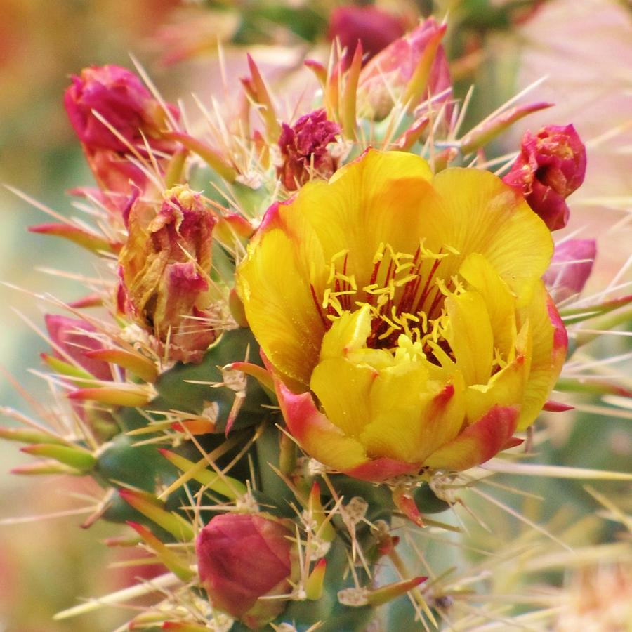 Yellow Cactus Flower Photograph By Michelle Cassella