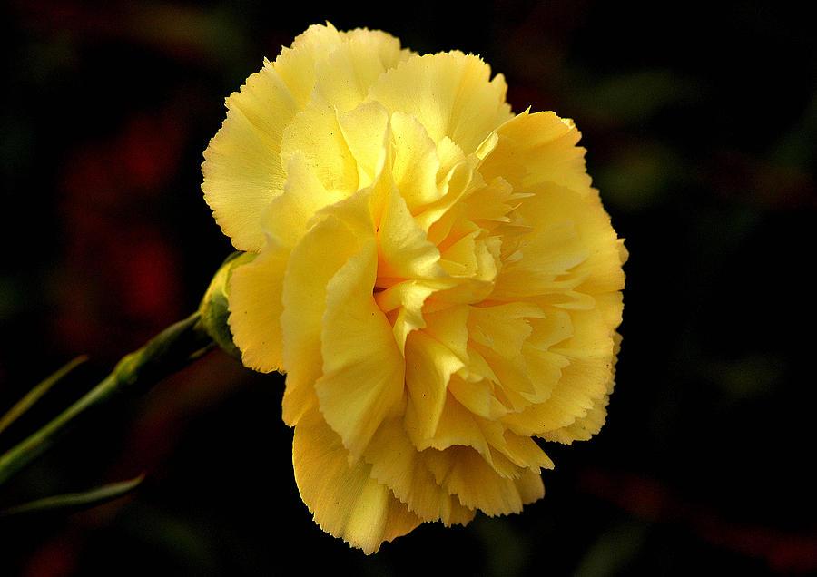 Yellow carnation flower photograph by johnson moya yellow flower photograph yellow carnation flower by johnson moya mightylinksfo