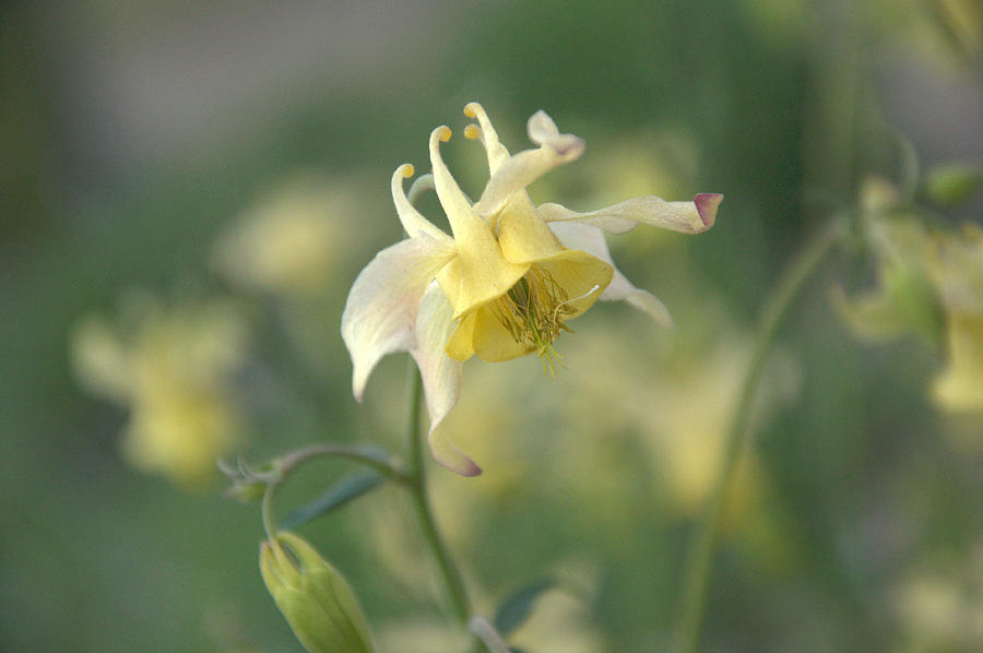 Flower Photograph - Yellow Columbine by Frank Madia