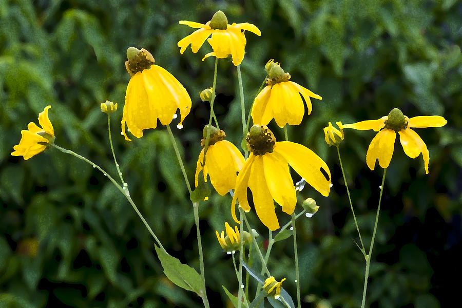 Ratibida Pinnata Photograph - Yellow Cone Flowers Rudbeckia by Rich Franco