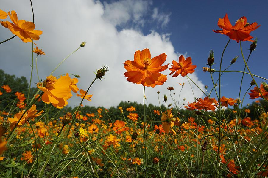 Yellow Cosmos Field In Flower Japan Photograph by Hiroya Minakuchi