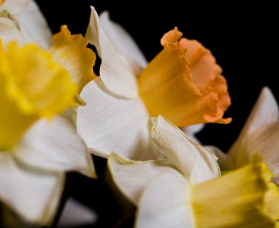 Yellow Photograph - Yellow Daffodils by John Holloway
