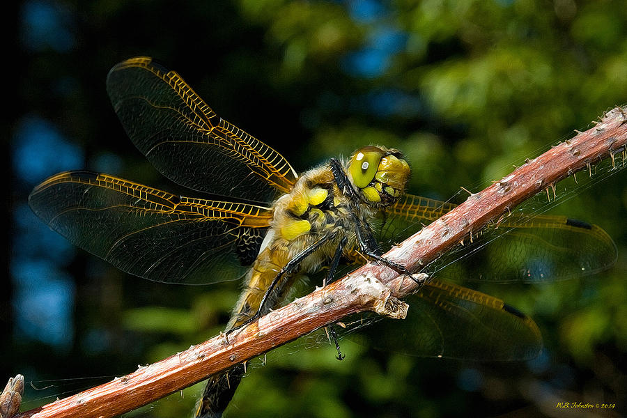 Dragonfly Photograph - Yellow Dragon by WB Johnston