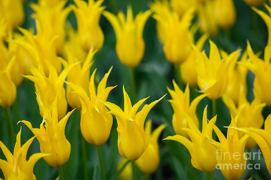 Yellow Tulips by Katka Pruskova
