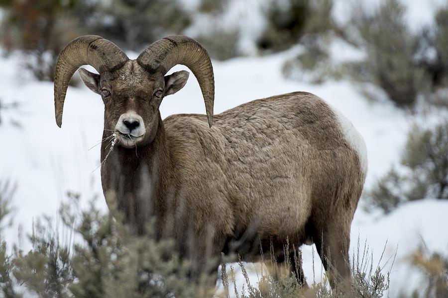 Animal Photography Framed Prints Photograph - Yellowstone Ram by David Yack