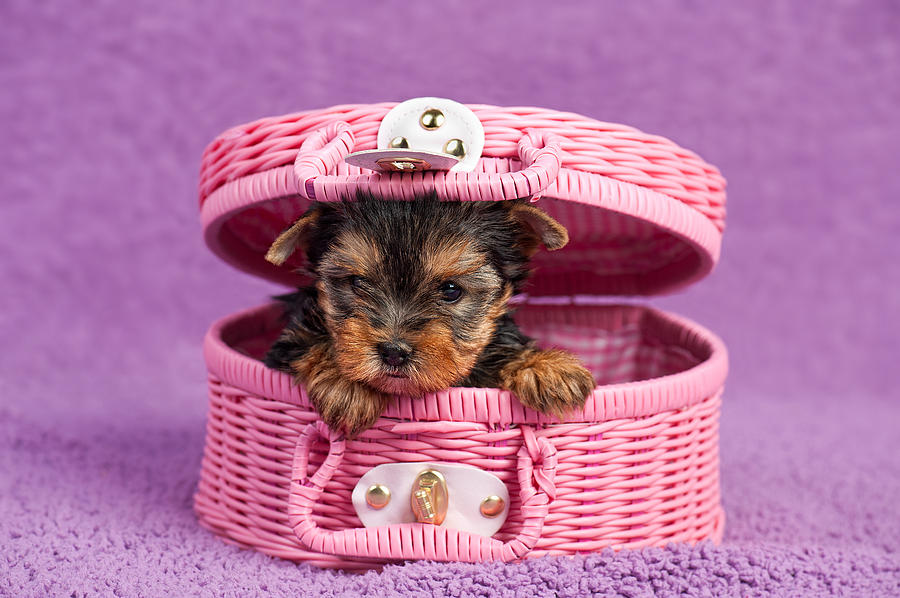 Animal Photograph - Yorkshire Terrier Puppy by Marta Holka