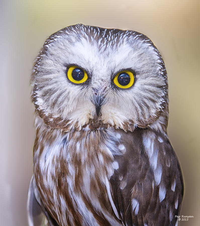 Saw-whet Owl Photograph - Young Saw-whet Owl by Peg Runyan