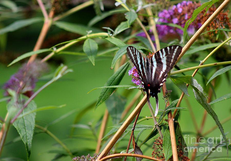 Zebra Photograph - Zebra Swallowtail Butterfly At Butterfly Bush by Karen Adams
