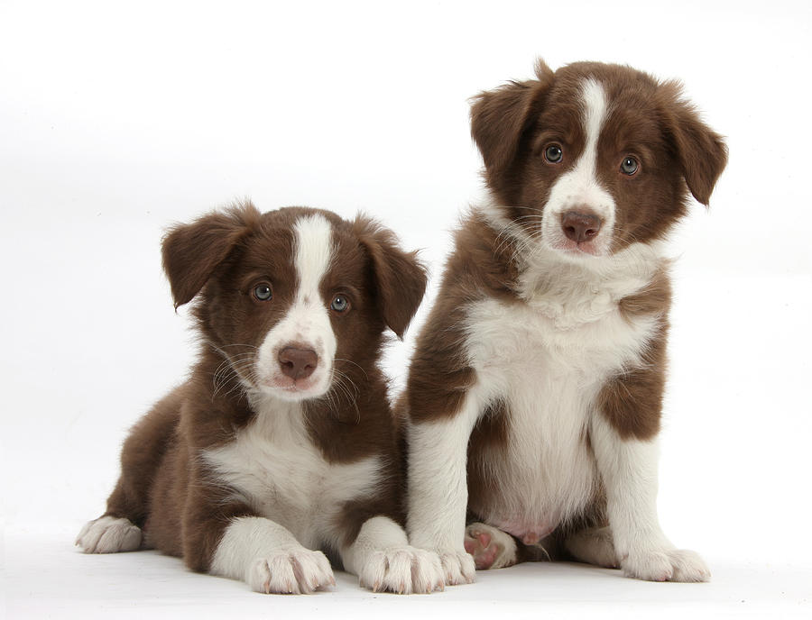 Border Collie Puppies Photograph By Mark Taylor