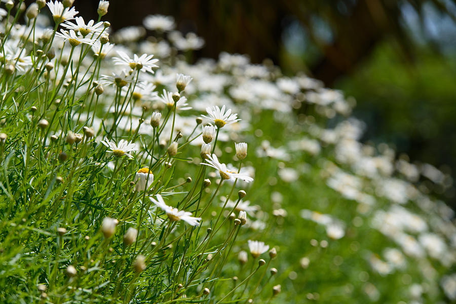 Bloom Photograph - Daisies by Michael Goyberg