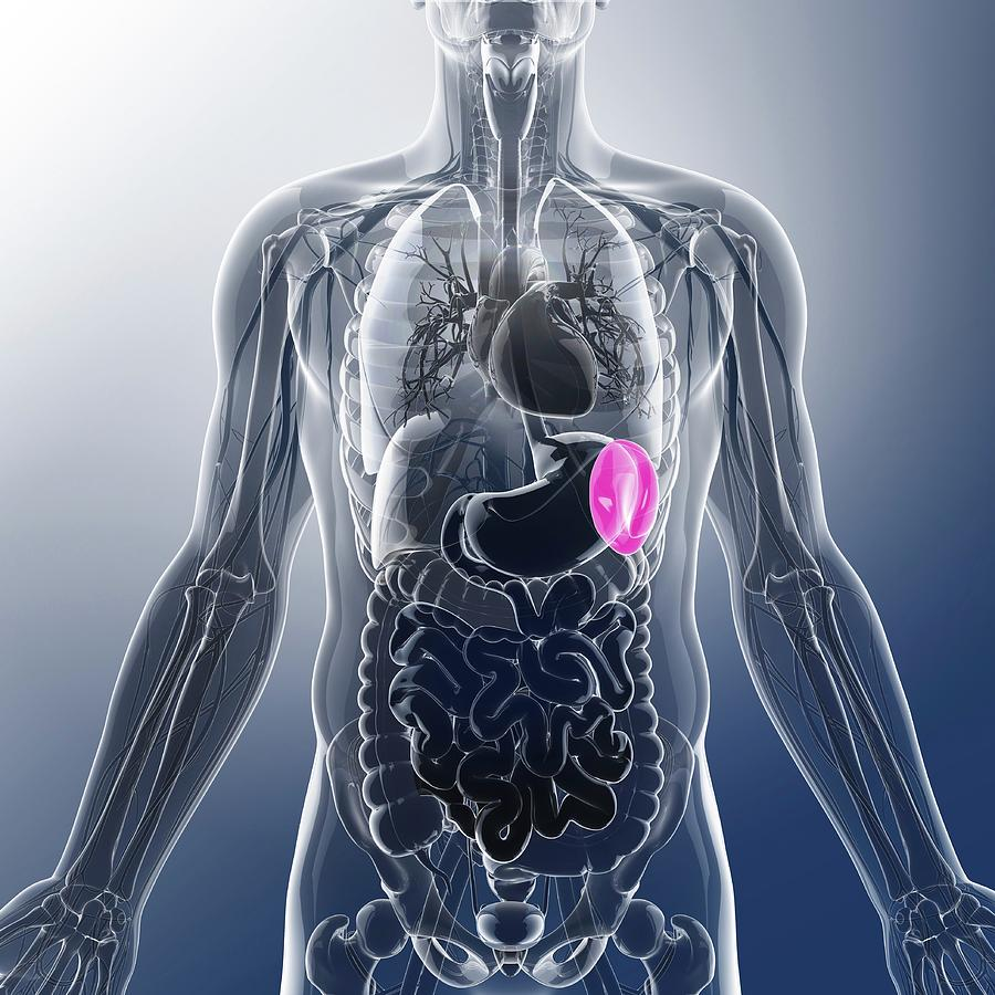 Human Spleen Photograph By Pixologicstudio