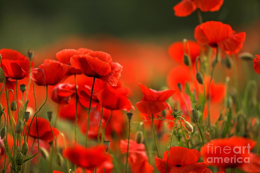 Poppy Dream Photograph