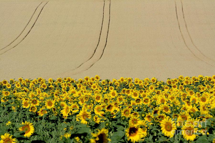 Auvergne Photograph - Sunflowers by Bernard Jaubert