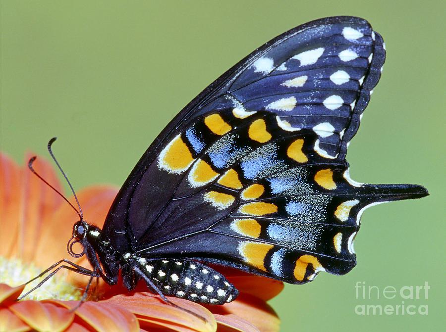 Fauna Photograph - Eastern Black Swallowtail Butterfly by Millard H. Sharp