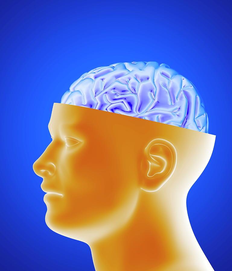 Brain Photograph - Human Brain by Alfred Pasieka/science Photo Library