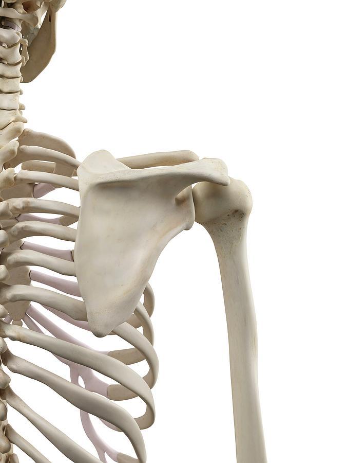 Human Shoulder Bones Photograph By Sciepro
