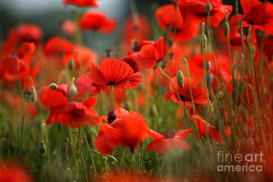 Poppy Photograph - Poppy Dream by Nailia Schwarz