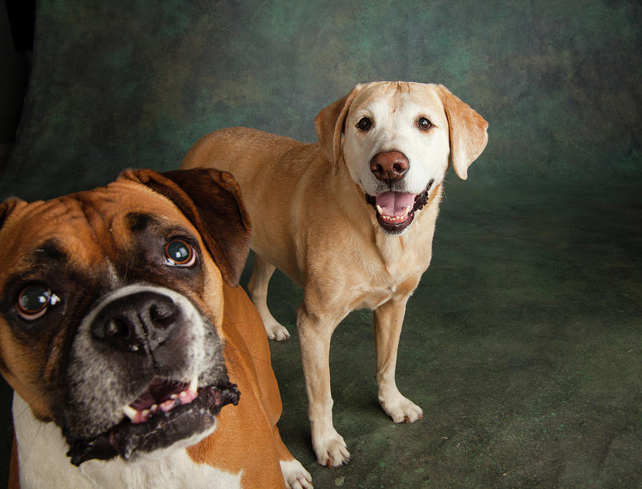 Horizontal Photograph - Portrait Of A Boxer Dog And Golden by Animal Images