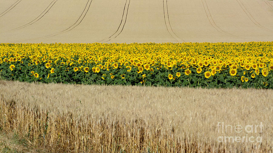 Auvergne Photograph - Sunflowers by Bernard Jaubert