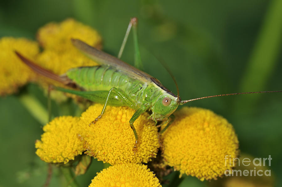 Long-winged Conehead Photograph - 110221p244 by Arterra Picture Library