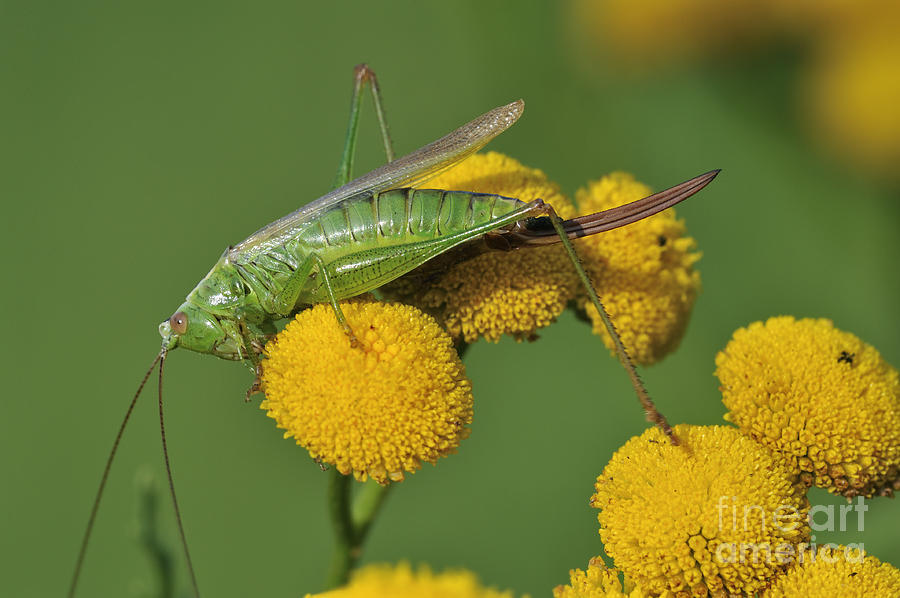 Long-winged Conehead Photograph - 110221p245 by Arterra Picture Library