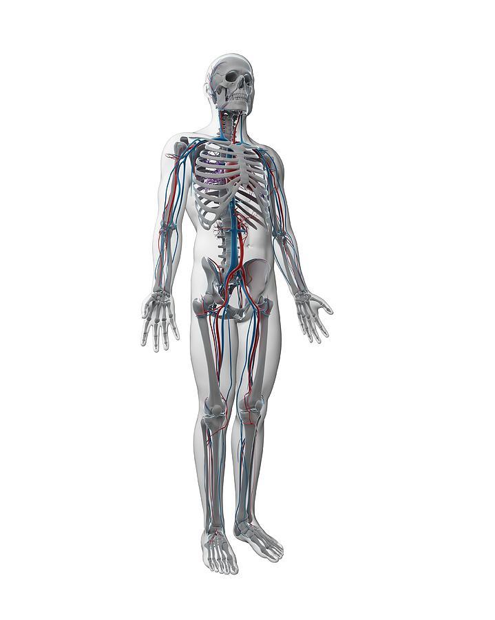 Artwork Photograph - Human Vascular System by Sebastian Kaulitzki